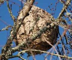 nid-Frelons-asiatiques